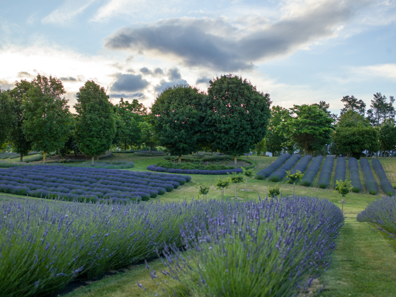 Wanaka Lavender Farm Website Version 25