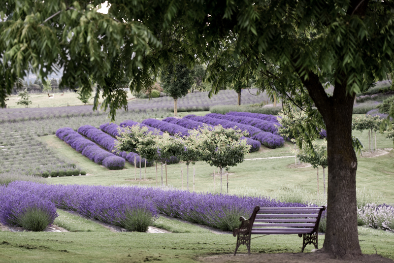 Wanaka Lavender Farm Website Version 8076