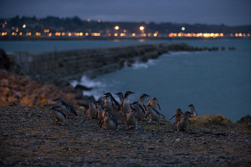 Blue Penguins Evening Viewing